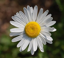 close up van de cultivar Leucanthemum vulgare 'Filigran'
