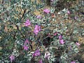 Leucophyllum frutescens (homeredwardprice) 003.jpg
