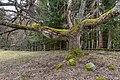 Liebenfels Gößeberg Gummiwiese knorriger Baum 15032019 6132.jpg