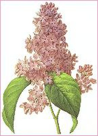 Bécancour, Quebec - Image: Lilac redoute