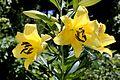 Lilium Golden Splendour3.jpg