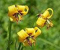 Lilium albanicum (30353796337).jpg