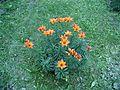 Lily flowers in garden.jpg