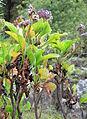 Limonium arborescens kz1.JPG