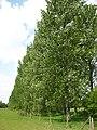 Line of poplars - geograph.org.uk - 1860385.jpg