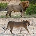 Lion male+female montage.jpg