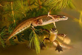 Palmate newt Species of amphibian