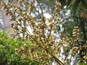 Panicle - Litchi chinensis flowers form a panicle.