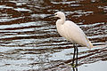 Little egret, Yamato River, Osaka, November 2015.jpg