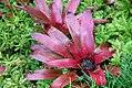 Livistona robinsoniana 1zz.jpg