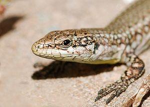 Portrait of a Wall lizard (Podarcis muralis