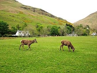 Lochranza - Red deer on Lochranza golf course