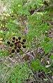 Lomatium dissectum var. dissectum flowering 3.jpg