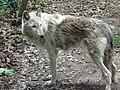 Lone wolf! (4610934305).jpg