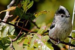 Long-Tailed Tit - Summer Leys (23858072188).jpg