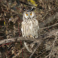 Long-eared Owl (Asio otus) (8520159521).jpg