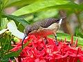 Loten's Sunbird Female (Cinnyris lotenius) (19005218130).jpg