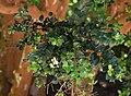 Luma apiculata 2.jpg