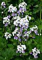 Lunaria rediviva Perennial Honesty ლუნარია (2).JPG