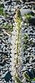 Lupinus polyphyllus at Lake Tekapo 01.jpg