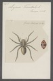 Lycosa - Print - Iconographia Zoologica - Special Collections University of Amsterdam - UBAINV0274 068 08 0010.tif