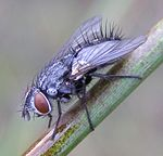 Lydella-sp-Tachinid-fly-20100810a.JPG