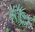 Lygodium japonicum (Thunb.) Sw. Lygodiaceae (27227972406).jpg
