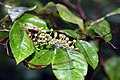 Lyonia ligustrina 3zz.jpg