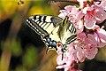 Macaone - Papilio machaon.jpg