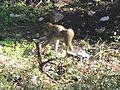 Macaque berbère à Ziama Mansouriah 12 (Algérie).jpg