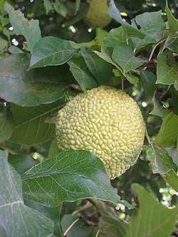 Osage-orange foliage and fruit