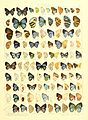 Macrolepidoptera15seit 0339.jpg