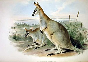 Eastern Irmawallaby, drawing by John Gould