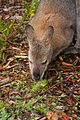 Macropus rufogriseus (Red necked wallaby) (4892760039).jpg