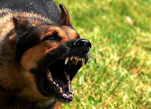 Angry german shepard.