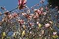 Magnolia 2a (SG) (26020317920).jpg