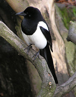 meaning of magpie