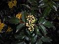 Mahonia aquifolium 2016-04-19 8162.jpg