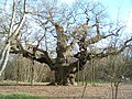 Major Oak. - geograph.org.uk - 319.jpg