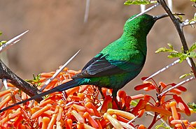 Malachite Sunbird (Nectarinia famosa) male on Coral Aloe flowers (32626894665).jpg