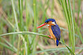 Malachite kingfisher - Queen Elizabeth National Park, Uganda (2).jpg