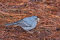 Male blue chaffinch (Fringilla teydea).jpg