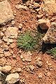 Malta - Qrendi - Hagar Qim and Mnajdra Archaeological Park - Plantago serraria 02 ies.jpg