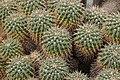 Mammillaria compressa (39156835910).jpg