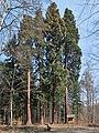 Mammutbäume Weilimdorf.jpg