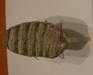 Mammuthus meridionalis - Molar
