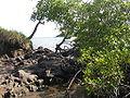 Mangrove-Dubuc.JPG