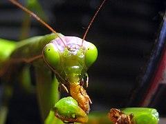Mantis religiosa eating.jpg