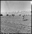 Manzanar Relocation Center, Manzanar, California. Evacuees of Japanese ancestry are growing flouris . . . - NARA - 537978.tif