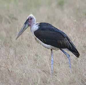 Marabou stork - Image: Marabou stork, Leptoptilos crumeniferus edit 1